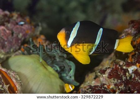 Side view of a cute adult Clark's Anemonefish (Amphiprion clarkii) tropical fish lying on healthy coral on an anemone on a coral reef in the Musandam area of Oman - stock photo
