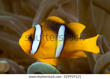 Side view of a cute sub-adult Clark's Anemonefish (Amphiprion clarkii) tropical fish lying on healthy coral on an anemone on a coral reef in the Musandam area of Oman - stock photo
