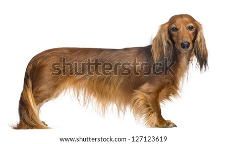 Side view of a Dachshund, 4 years old, looking at camera against white background - stock photo