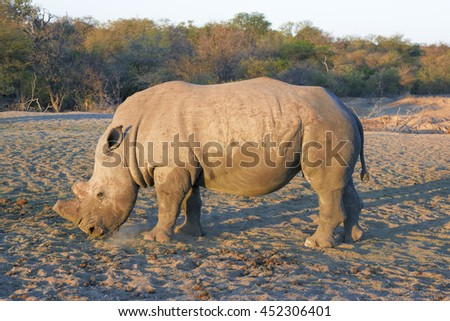 Side view of a dehorned rhino. Dehorning of the rhinos is an instrument to protect the rhinos from poaching. - stock photo