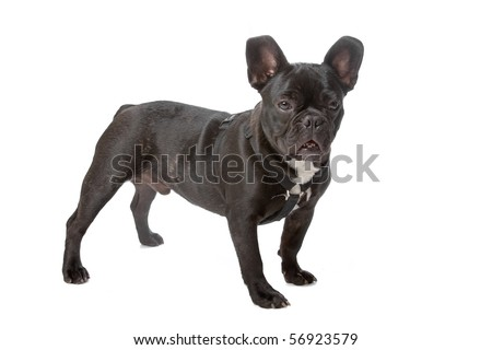 side view of a french bulldog (frenchie) looking at camera isolated on a white background