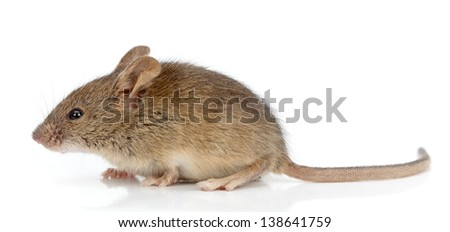 Side view of a house mouse (Mus musculus) - stock photo