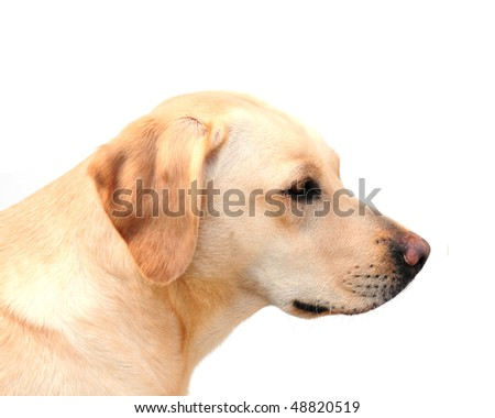 side view of a labrador puppy