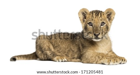 Side view of a Lion cub lying, looking at the camera, 10 weeks old, isolated on white - stock photo