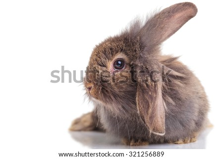 Side view of a lion head rabbit bunny lying on isolated background. - stock photo
