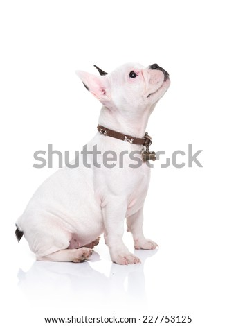 side view of a little french bulldog puppy sitting and looking up to something on white background