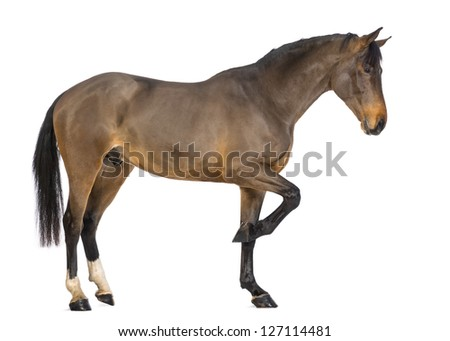 Side view of a Male Belgian Warmblood, BWP, 3 years old, against white background - stock photo