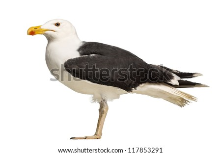 Side view of a Male Great Black-backed Gull, Larus marinus, against white background - stock photo