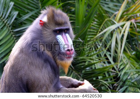 Side View of a Mandrill.  Mandrillus Sphinx - stock photo