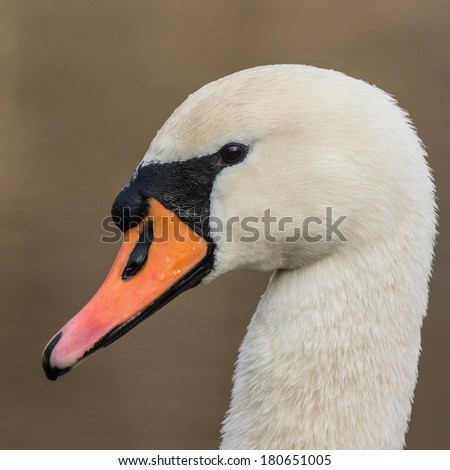 Side view of a mute swan males head - stock photo