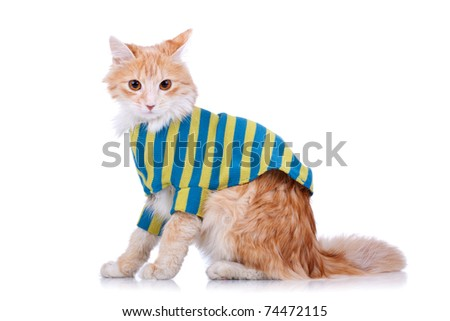 side view of a red and white cat wearing clothes looking at the camera - stock photo