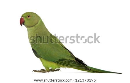 Side view of a Rose-ringed Parakeet, Psittacula krameri, also known as Ring-necked Parakeet against white background - stock photo