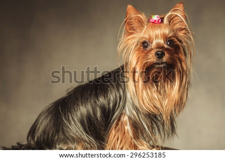 side view of a seated yorkshire terrier puppy dog with long coat looking at the camera - stock photo