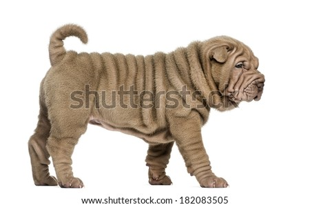 Side view of a Shar Pei puppy walking, isolated on white