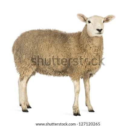 Side view of a Sheep looking away against white background - stock photo
