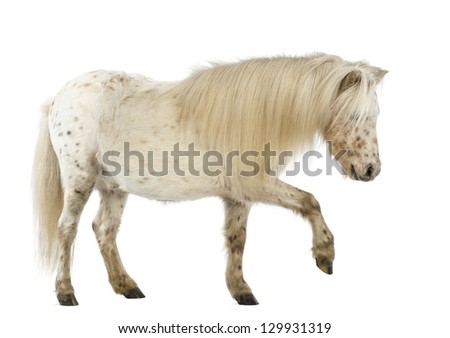 Side view of a Shetland stretching its leg in front of white background - stock photo