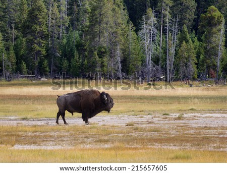 Side view of a single large senior North American Buffalo standing in the Yellowstone Park prairie - stock photo