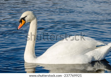 Side view of a swan on a lake - stock photo