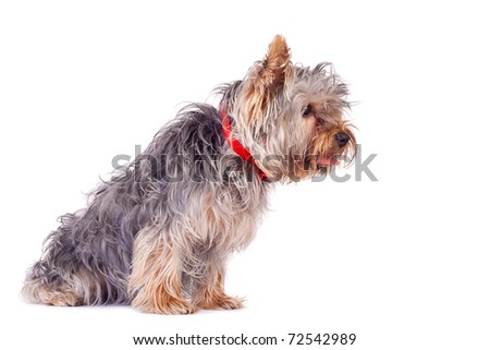 side view of a very curious yorkshire terrier, over white - stock photo