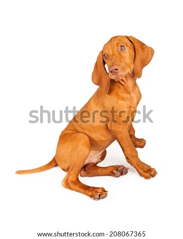 Side view of a Vizsla breed puppy sitting and looking back - stock photo