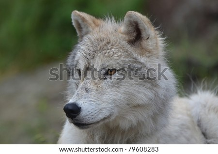 Side view of a wet Artic wolf - stock photo