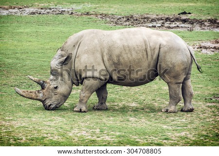 Side view of a White rhinoceros (Ceratotherium simum simum). Animal theme. - stock photo