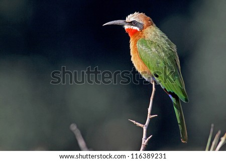 Side view of a Whitefronted Bee-eater ; merops bullockoides; South Africa - stock photo