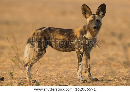 Side view of a Wild Dog pup (lycaon pictus) looking at the camera - stock photo