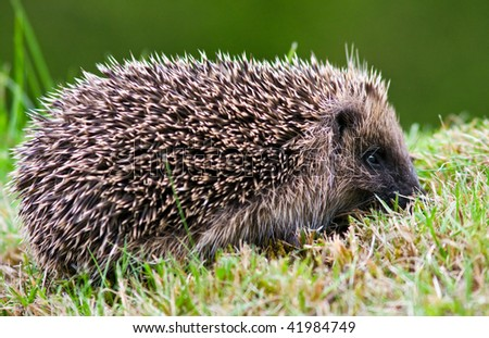 Side view of a wild hedgehog on a lawn in autumn. - stock photo