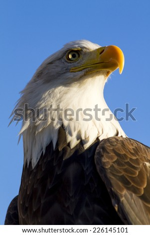 Side view of American bald eagle perched in tree with early morning light - stock photo