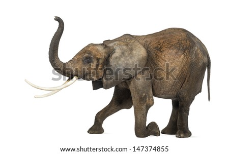 Side view of an African elephant, kneeling, performing, isolated on white