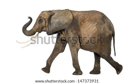 Side view of an African elephant performing, isolated on white