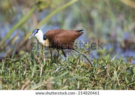 Side view of an African Jacana (Actophilornis africanus) walking in grass - stock photo