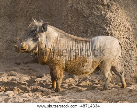 Side view of an African warthog. As a curiosity, this is the animal characterized as Pumbaa in the Lion King - stock photo