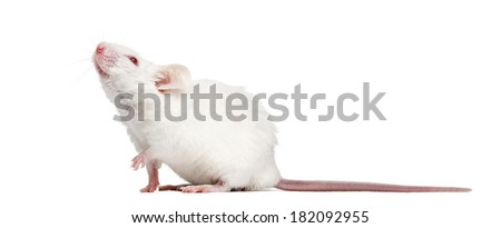Side view of an albino white mouse looking up, Mus musculus, isolated on white - stock photo
