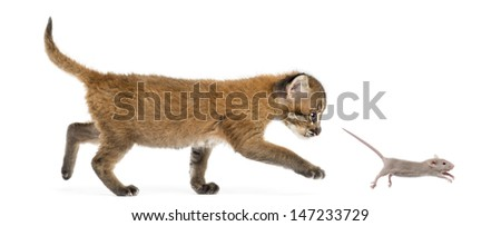 Side view of an Asian golden cat chasing a young mouse, isolated on white - stock photo