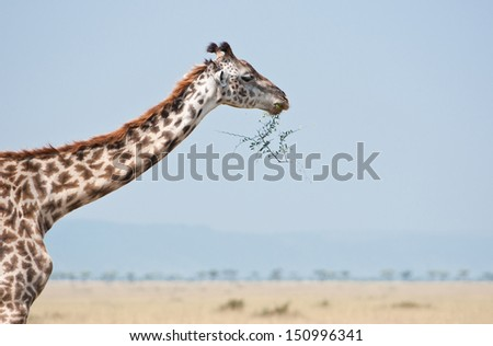 side view of an eating giraffe - national park masai mara in kenya - stock photo