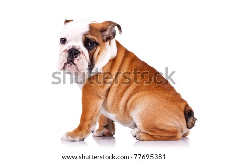 side view of an english bulldog sitting on a white background