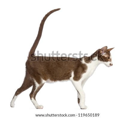 Side view of an Oriental Shorthair walking against white background - stock photo