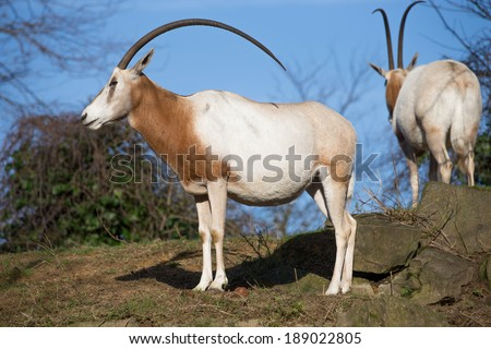 Side view of an Oryx antelope with its distinctive long curved horns - stock photo