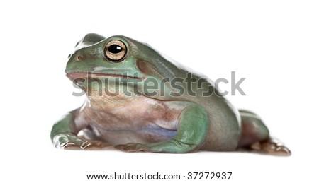Side view of Australian Green Tree Frog, Litoria caerulea, against white background, studio shot - stock photo