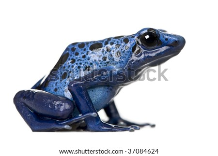 Side view of Blue Poison Dart frog, Dendrobates azureus, against white background, studio shot - stock photo
