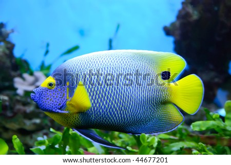 Side view of bluefaced Angelfish (Pomacanthus xanthometapon) swimming - stock photo