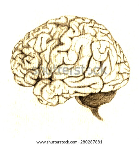 Side View of brain on white background. Hand drawn realistic image. - stock photo