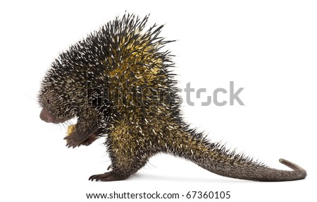 Side view of Brazilian Porcupine, Coendou prehensilis, standing in front of white background - stock photo
