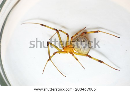 Side view of Brown widow spider specimen on the Petri dish grass - stock photo