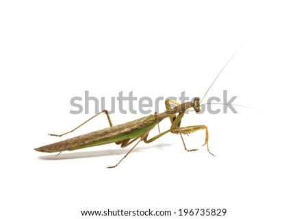 side view of browne and green praying mantis
