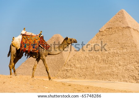 Side view of camel wearing colorful saddle walking in front of the Great Pyramids of Cheops and Khafre at Giza in Cairo, Egypt - stock photo