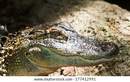 side view of cayman with sunlight lighting face - stock photo