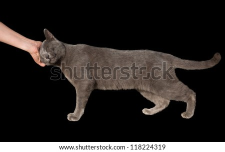 side view of Chartreux cat and woman hand on black - stock photo